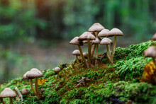 Mushrooms False Honey Fungus O...