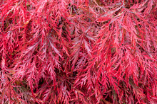 Close Up Of Crimson Red Autumn Leaf Colour Of Weeping Laceleaf Japanese Red Maple, Acer Palmatum 'Garnet'.
