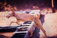 Hunting Dog In A Jump, Dog Jum...