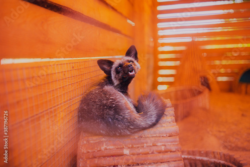 Fototapeta premium Portrait of a resting fox rescued from a fur production, close-up fox shot with a wide angle lens