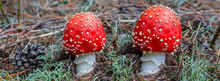 Closeup Pair Of Flyagaric Mushroom In A Forest