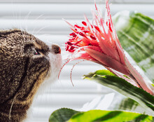 Cat Sniffs Aechmea - Houseplant With Large Green Leaves And Pink Flower