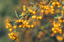 Bright Yellow Autumn Berries Of A Pyracantha Bush. Garden Plant