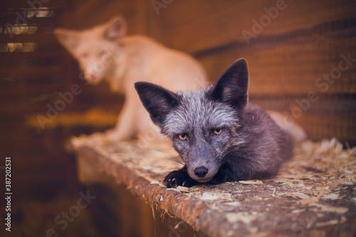 Naklejka premium Close-up young fox rescued from a fur farm fox in a shelter