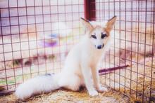 Small Three-month-old Fox Resc...