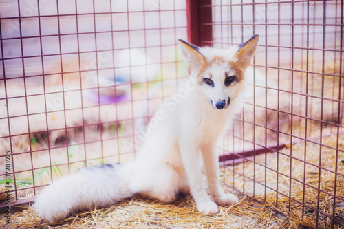 Naklejka premium Small three-month-old fox rescued from a fur farm in a shelter
