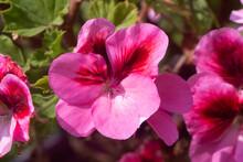 Pink Geranium Flowers In A Gar...