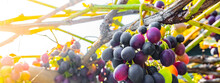 Cluster Of Grapes Vineyard Rip...