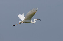 Great Egret (Ardea Alba) In Danube Delta