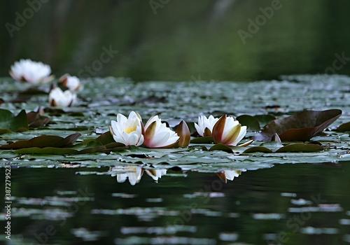 Cuadros en Lienzo Water lilies