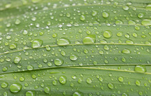 Water Drops On Green Palm Leav...