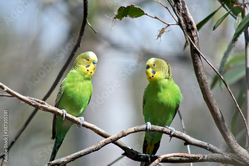 Photo the two budgergars or parakeets  are  perch on a branch of a bush