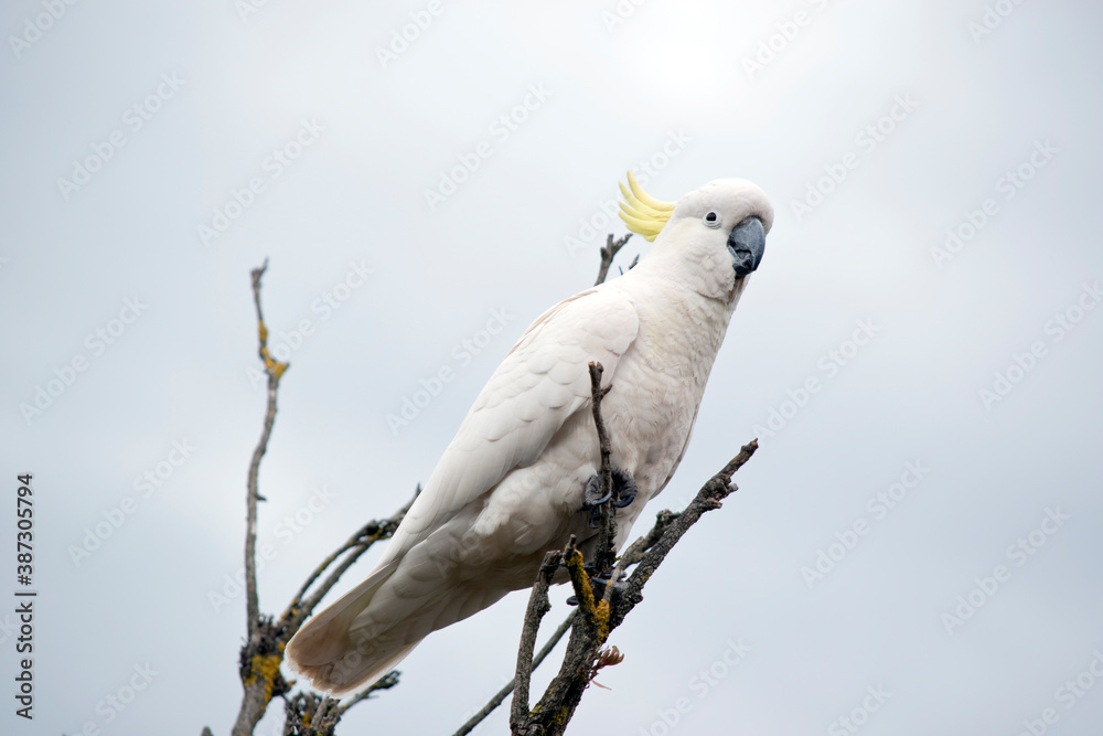 Fototapeta the sulphur crested is perched on top of a tree