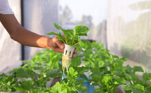 Hand Holding Chinese Cabbage H...