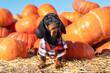 Leinwandbild Motiv Portrait cute puppy Dachshund dressed in a check shirt amid a bright orange pumpkin harvest at the fair in the autumn. The dog prepares for Halloween and chooses a pumpkin