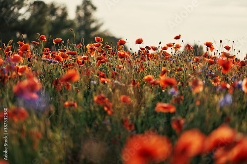 Fototapeta Beautiful landscape with red poppy flowers field.