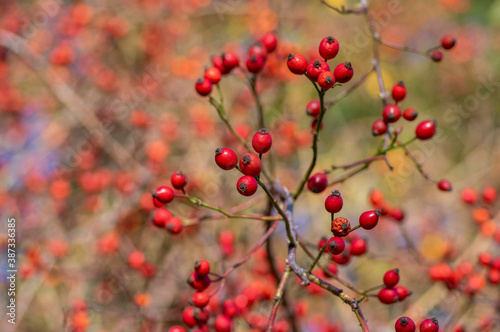 Fotografie, Tablou Ripened rose hips on shrub branches, red healthy fruits of Rosa canina plant, la