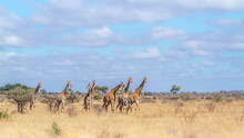 Small Group Of Giraffes Walking In Savannah Scenery  In Kruger National Park, South Africa ; Specie Giraffa Camelopardalis Family Of Giraffidae