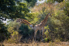 Couple Of Giraffes Parade In Kruger National Park, South Africa ; Specie Giraffa Camelopardalis Family Of Giraffidae