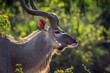 canvas print picture Greater kudu male portrait in Kruger National park, South Africa ; Specie Tragelaphus strepsiceros family of Bovidae