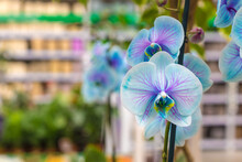 """Group Of Orchids """"Phalaenopsis Royal Blue"""" On Blurred Multicolored Floral Background, Selective Focus. Natural Bright Floral Background For The Designer."""