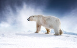 Fototapeta Na drzwi - Beautiful adult male polar bear, ursus maritimus, walking across the snow of Svalbard