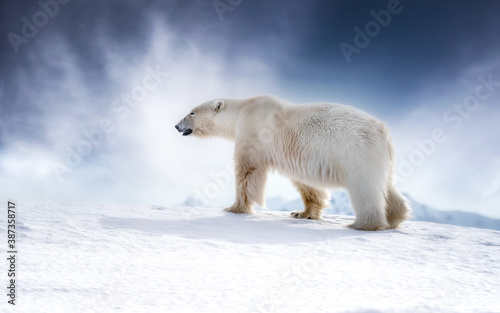 Beautiful adult male polar bear, ursus maritimus, walking across the snow of Svalbard - 387358717