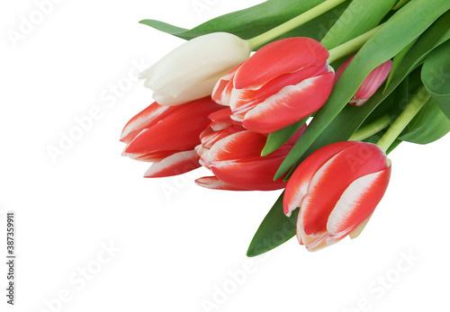Fototapeta Beautiful tulips isolated on white background obraz na płótnie