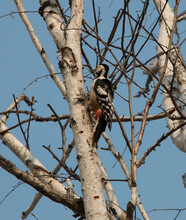 A Large Spotted Woodpecker Is ...