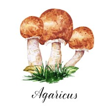 Watercolor Agaricus Edible Fungi, Mushrooms With Leaves And Grass Illustration. Watercolour Botanical Composition On White Background.