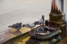 Pigeon Queuing Up For Water At Venice Water Tap.