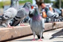 View Of The Pigeon (Columbidae...