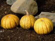 Three Yellow Gourds