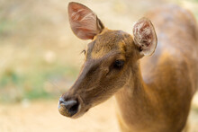 Young Hornless Deer Close-up, ...
