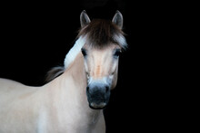 You Have To Love Fjord Horses!