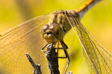 Large Dragonfly Sits On A  Bra...