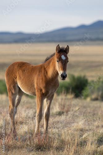 Wild Horse Foal in Spring in the Utah Desert