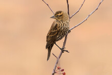 Female Red-winged Blackbird (A...