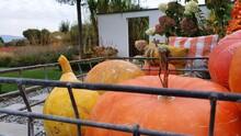 Scarecrow And Pumpkins