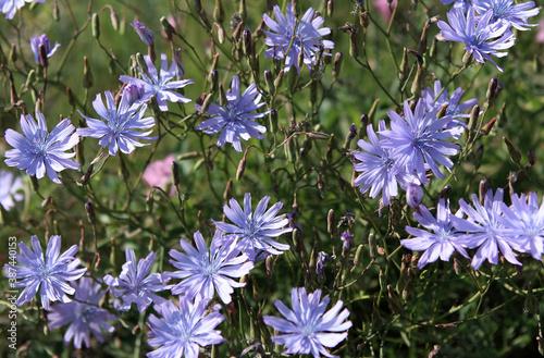 Fleurs de chicorée sauvage #387440153