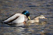 Pair Of Mallard Ducks Mating O...