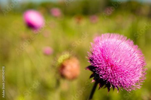 Fototapeta A field of purple blossoming thistles within the Pike Lake Unit, Kettle Moraine