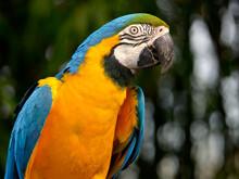 Profile Portrait Of  Gelbbrustara Macaw Or Blue-and-gold Macaw (Ara Ararauna)