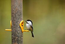 Perched, A Black-capped Chicka...