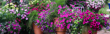 Terracotta Planter Bursting With Fuchsia Petunias , Million Bells, Variegated Vinca Vines, Fiber Optic Grasses