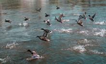 Flock Of Ducks Fying. Autumn River. Blue Water.