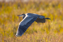 Great Blue Heron Flying In The Wild In North California At Sunset