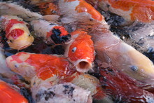 Hungry Koi Fish In Water