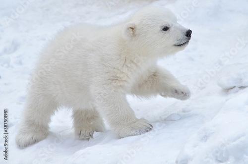Tela polar bear cub