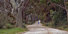 A Lone Jogger Runs Down A Country Dirt Road Surrounded By An Avenue Of Huge Gumtrees